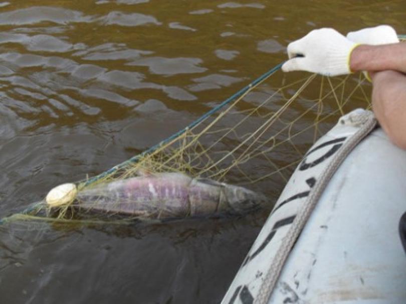 Ярославца осудят залов рыбы вКоторосли сетями впределах города