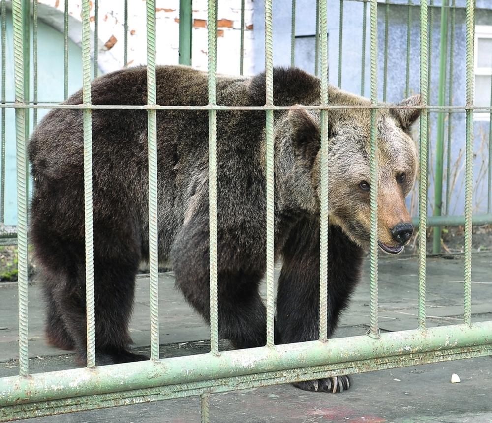 ВЯрославле медведица Маша впала вспячку