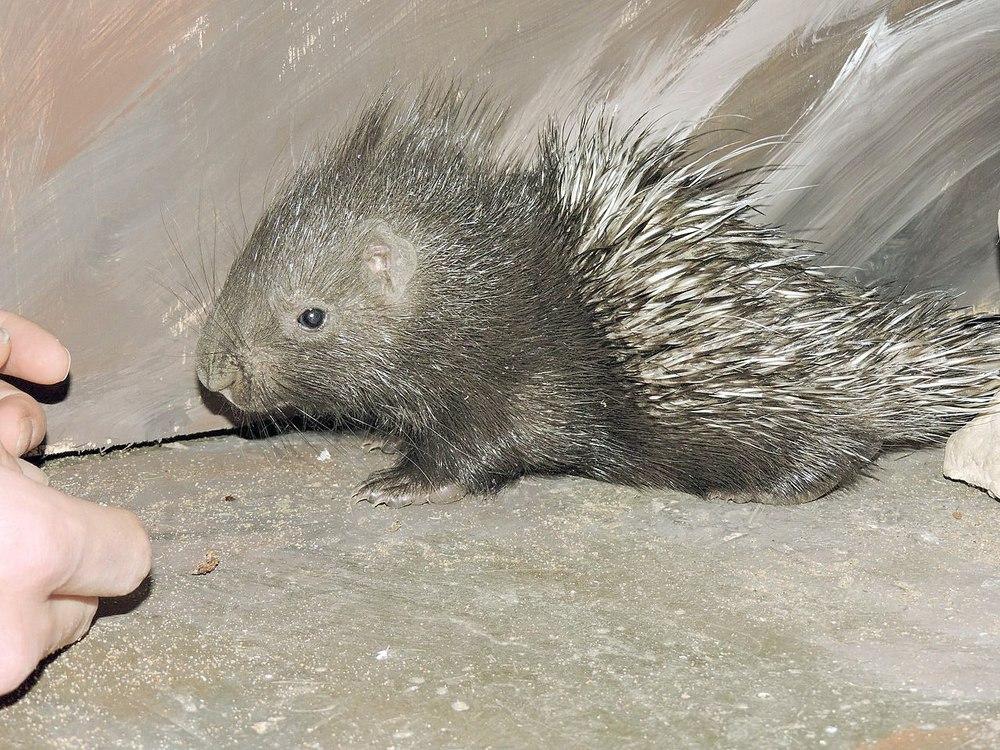 Вярославском зоопарке появился небольшой индийский дикобраз