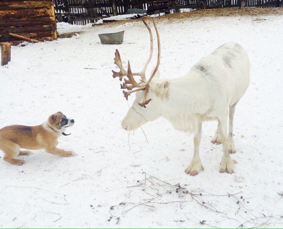 ВЯрославле ищут олениху Белоснежку